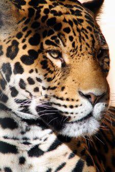 List Of Big Cats List Of Big Cats Big Cats Wild Cats