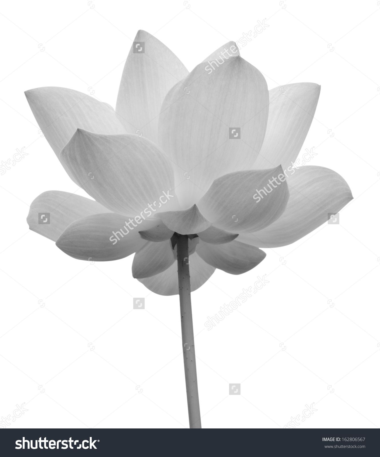 Lotus Flower In Black And White Isolated On White Background