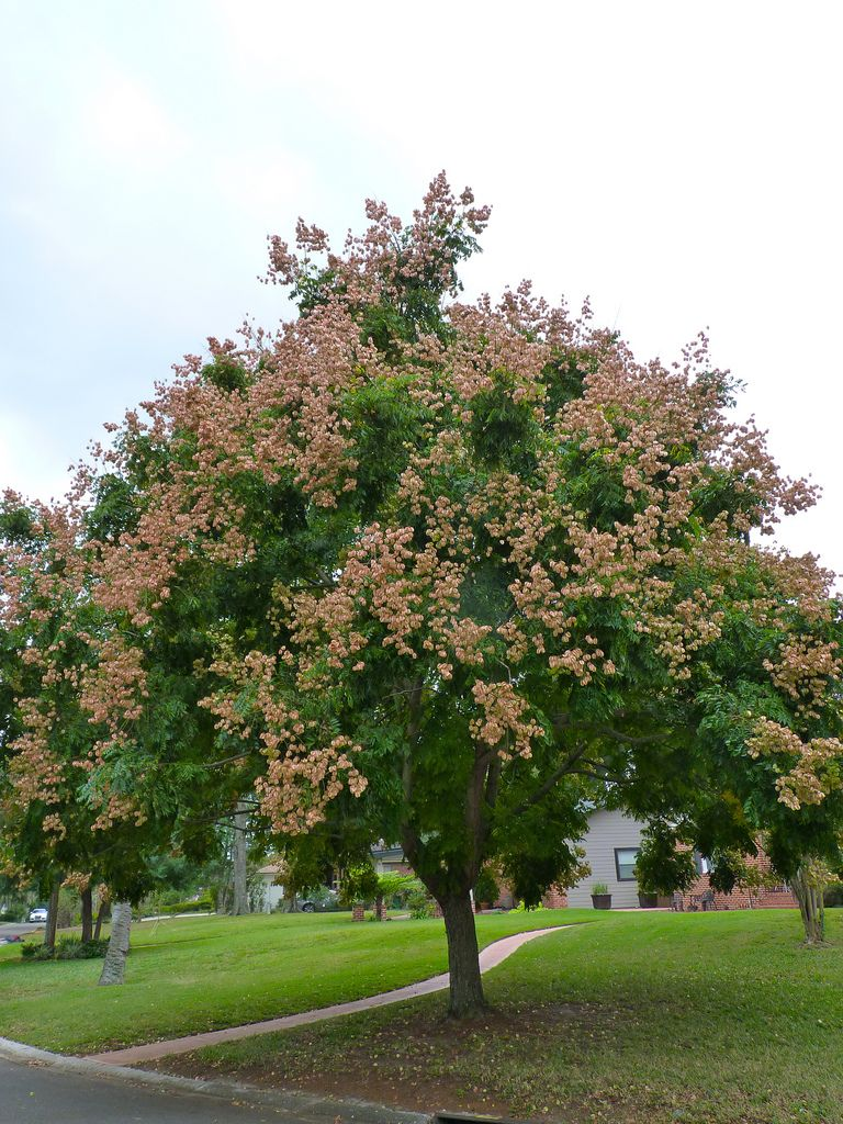 Koelreuteria Paniculata Koelreuteria Bipinnata Also Known