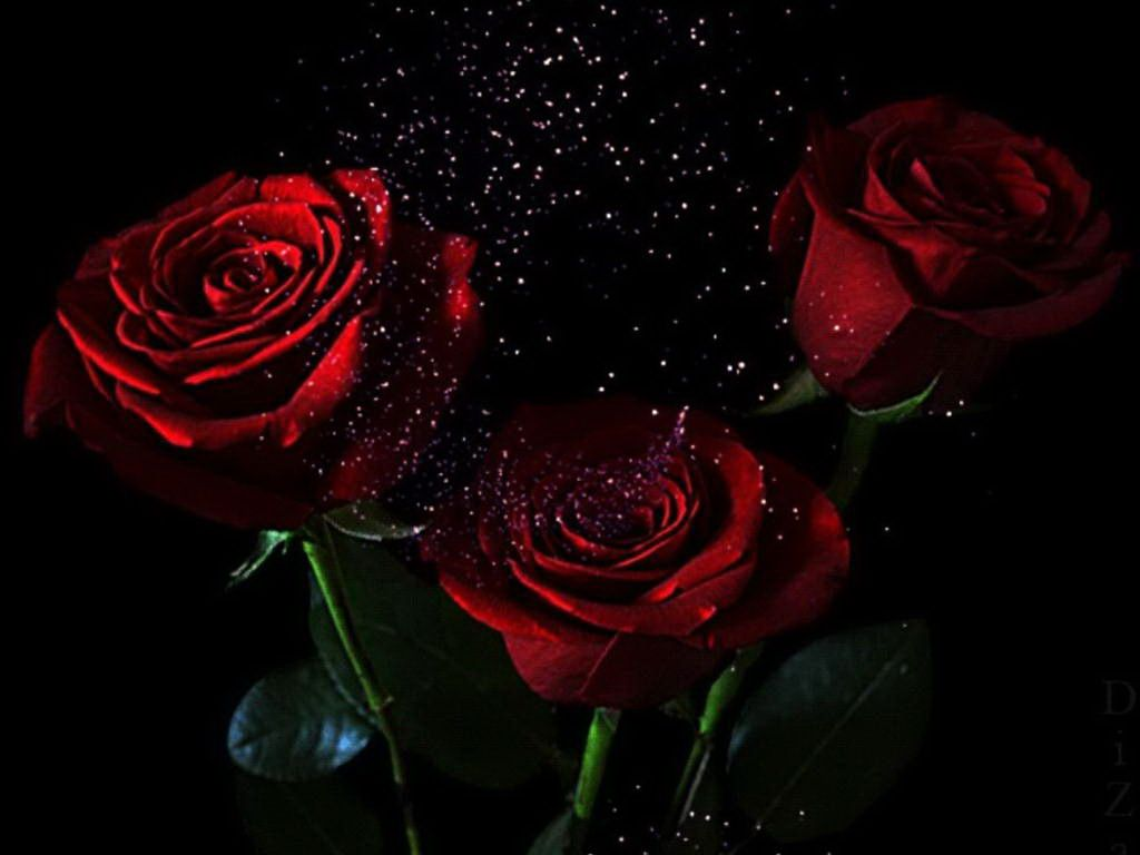 red rose on black wallpaper  ForWallpapercom