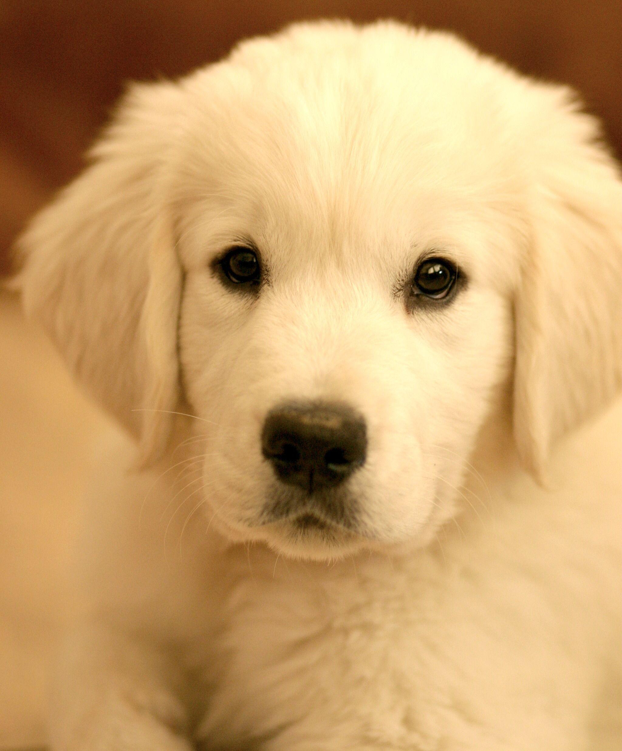 Golden puppy goldenpuppies Retriever puppy, Dog lovers