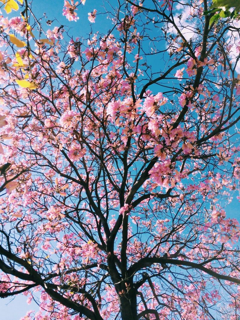 A Low Angle Shot Of Pink Flowered Cherry Blossom Tree Pink Blossom Tree Cherry Blossom Wallpaper Tree Wallpaper