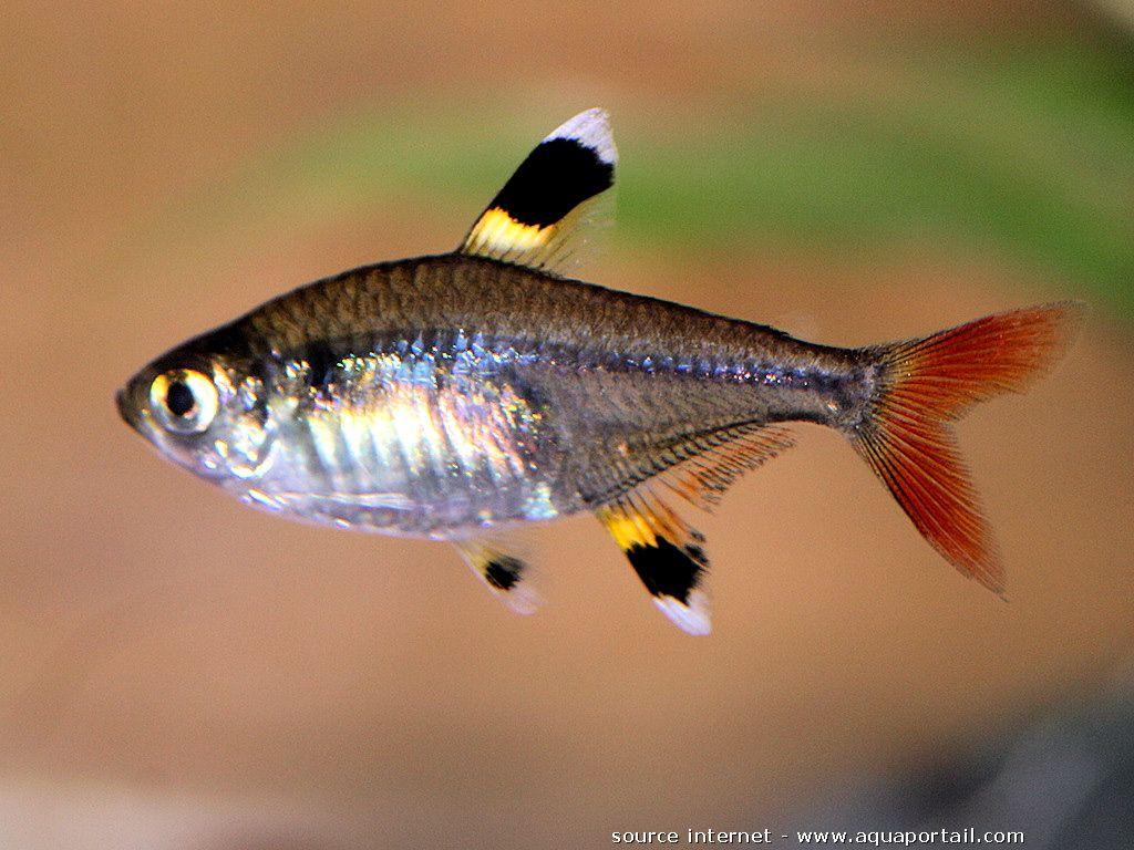 Pristella Maxillaris X Ray Tetra Aquarium Fish Tetra Fish