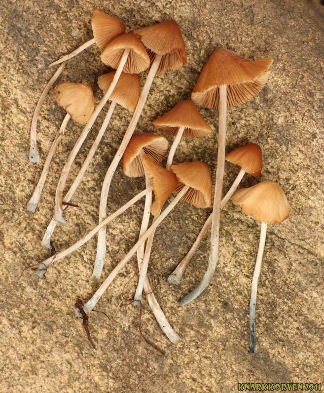 Conocybe cyanopus (or smithii)  Updated with microscope photos and