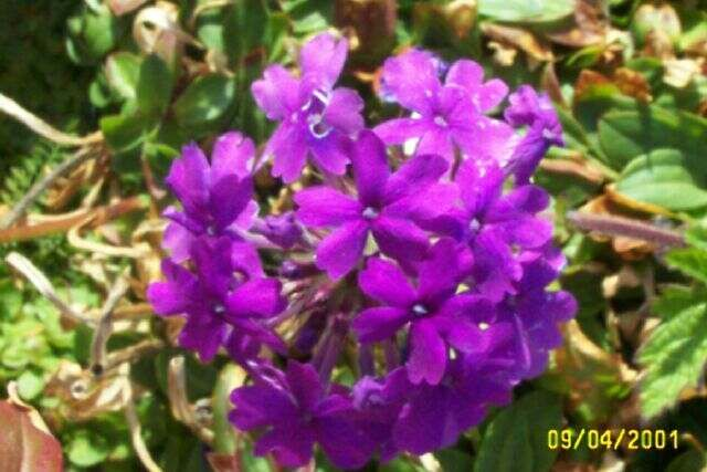 Rose Verbena, Purple Verbena, Homestead Verbena 'Homestead Purple' (Glandularia canadensis)