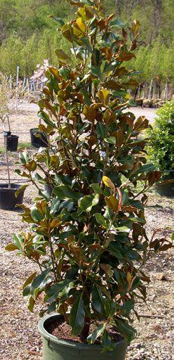 Brackens Brown Beauty Magnolia Landscaping Ideas Pinterest