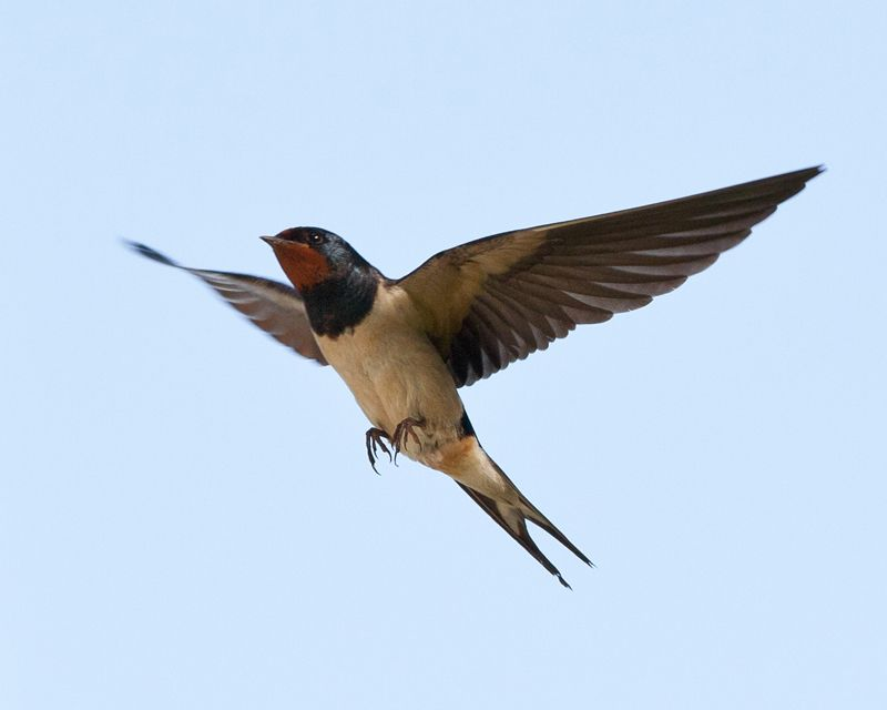 Barn swallow in-flight - my favorite bird, they love our ...