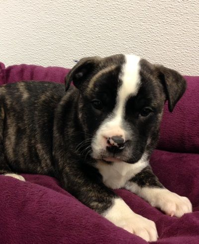 Puppies for sale near New Hudson Michigan. NewHudson