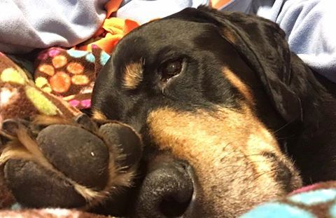 Boone selfie  he's enjoying couch time. #Tripawds