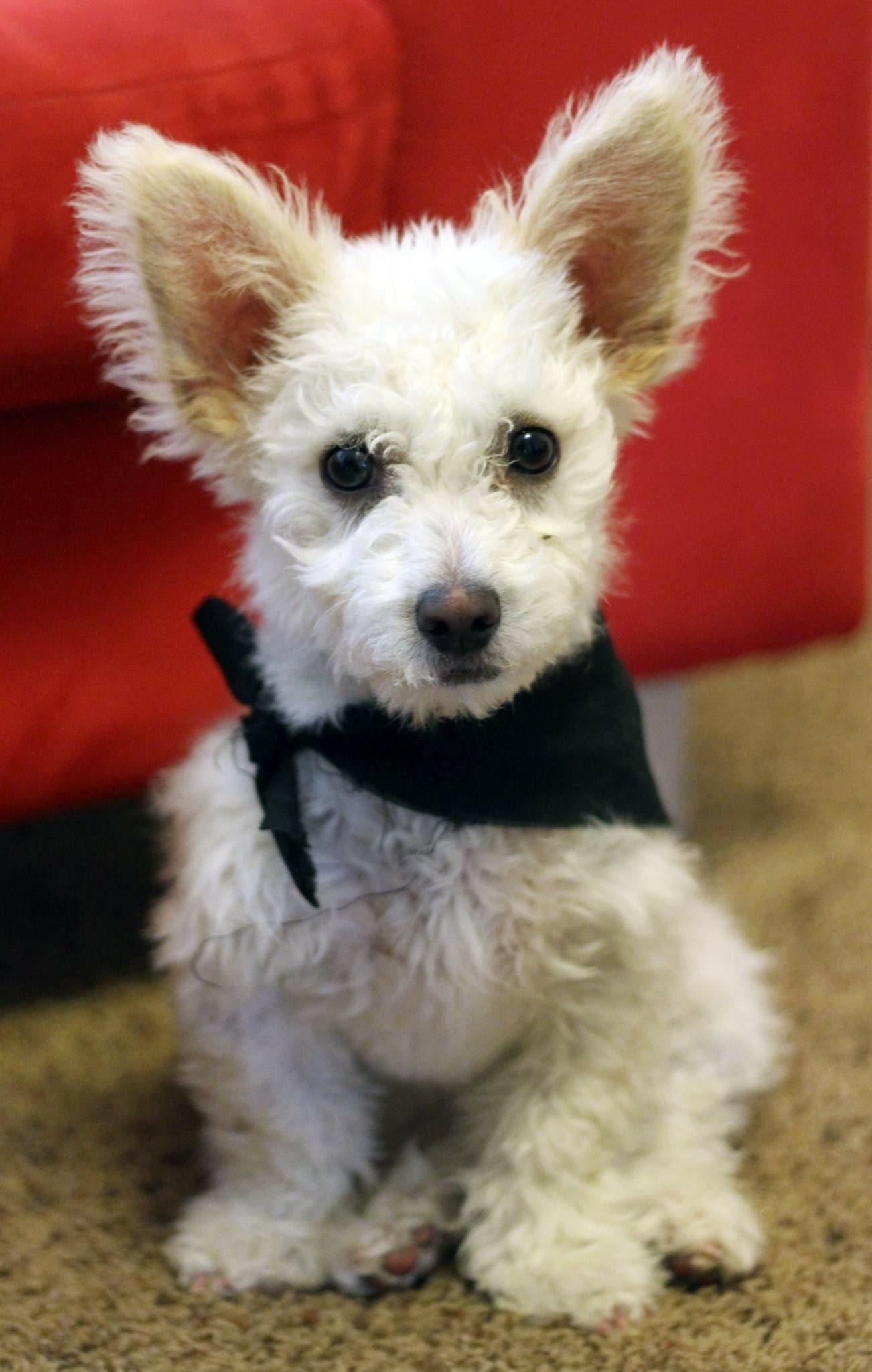 Corgi Poodle Puppy With Images Corgi Poodle