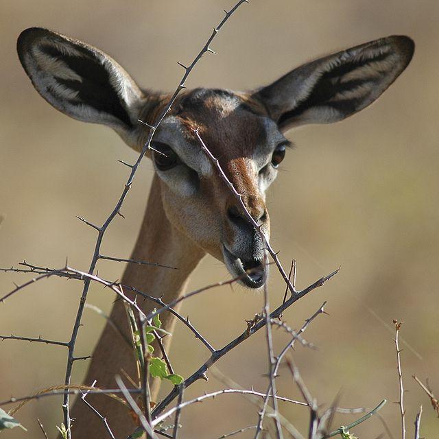 The Strange Elegance of the Giraffe-Necked Antelope ~ The Ark In Space
