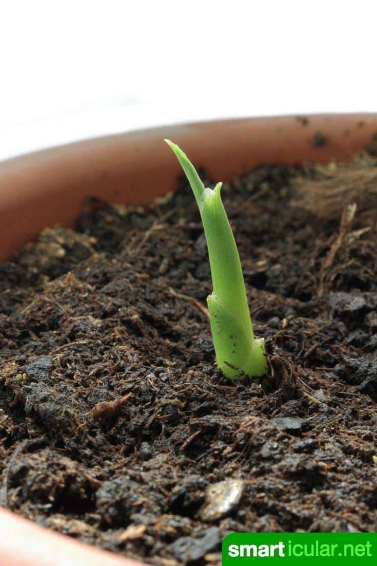 superknolle ingwer nicht kaufen sondern ganz einfach selbst vermehren pflanzen selber ziehen. Black Bedroom Furniture Sets. Home Design Ideas