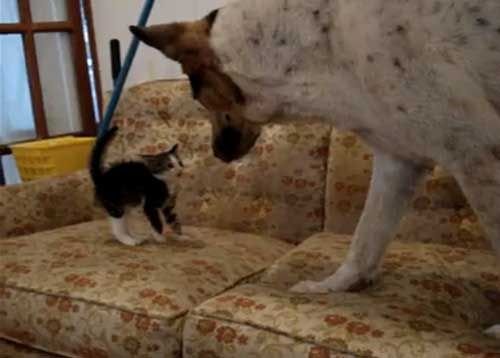 Little Kitten Challenges Big Dog – Video