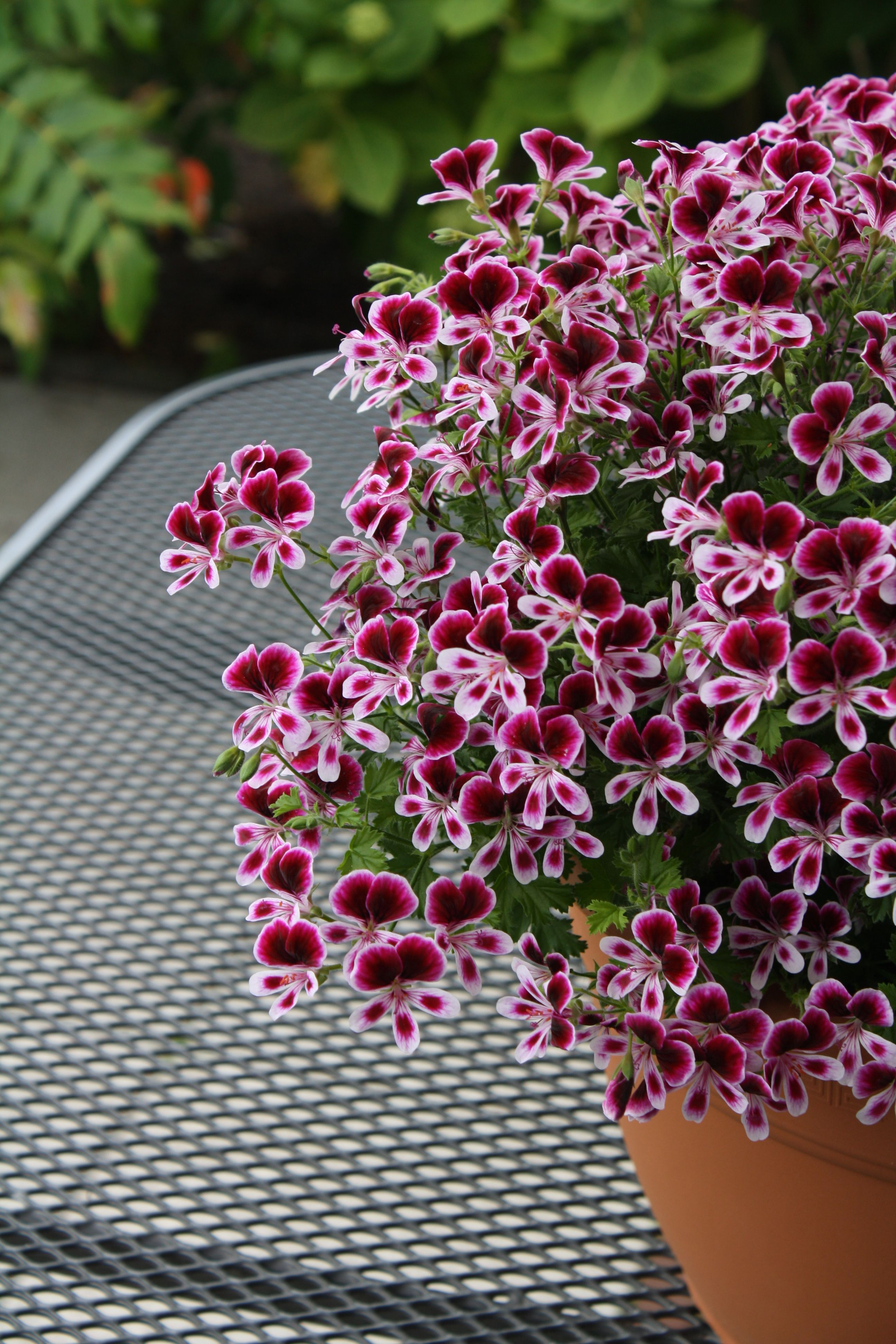 Mosquitaway Are Lavish Flowering Angel Pelargoniums For Both Your Home