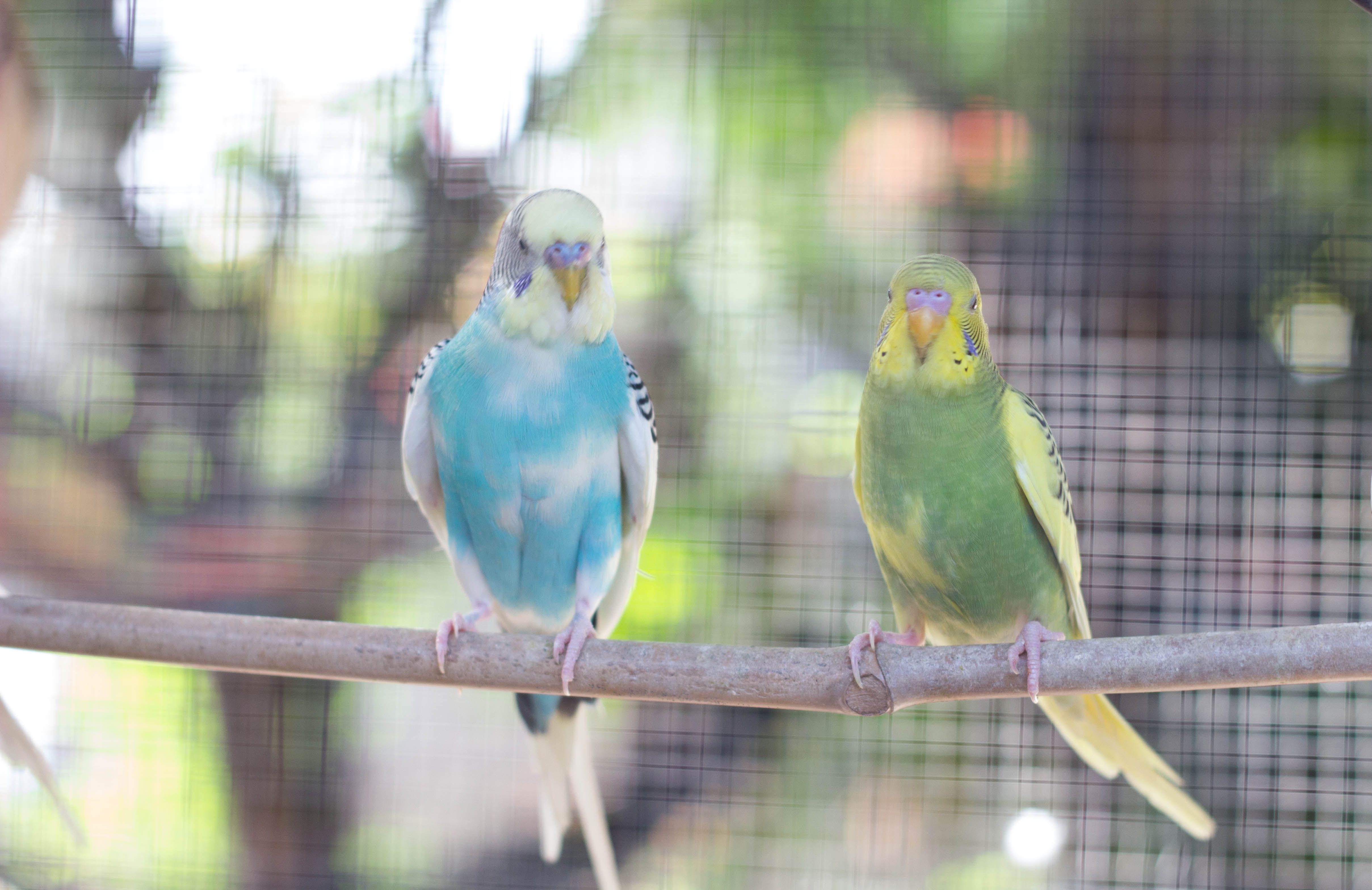 Blue and Green love birds for sale! Adopt them now! #Lovebirds