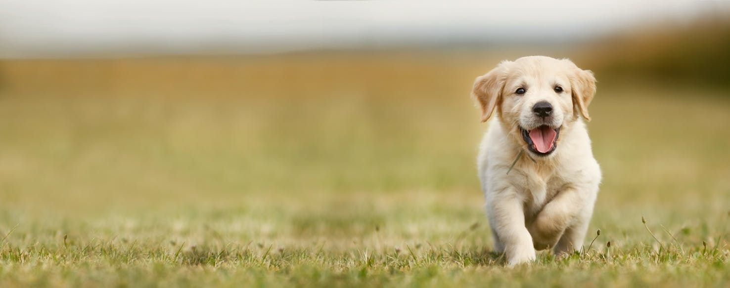 How To Train Your Golden Retriever Puppy Not To Bitehow To Train