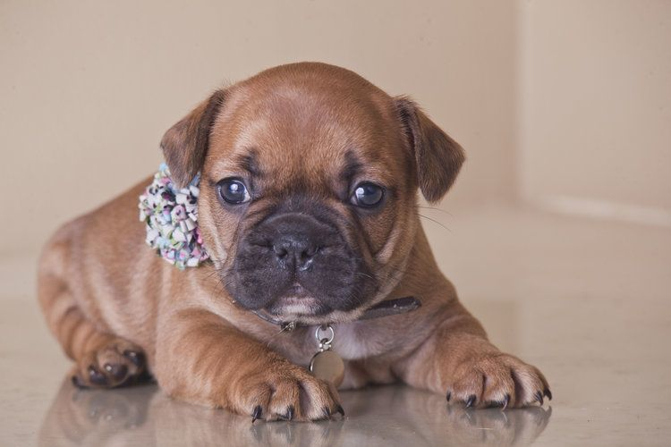 Red French Bulldog Puppy Now Living In Washington Bulldog