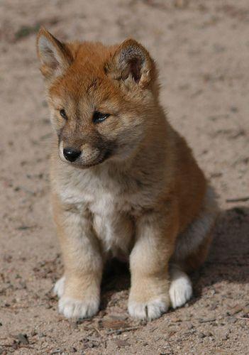 dingo puppy - Google Search | Dingo, Australian animals ...
