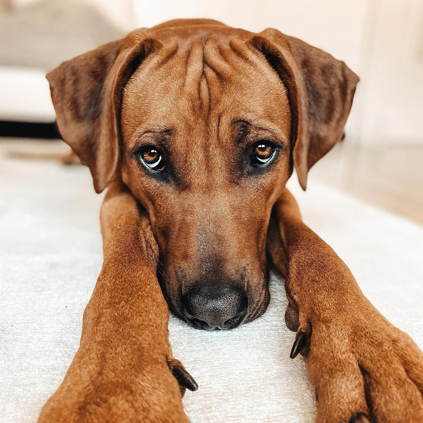 Ridgeback Puppies For Sale South Africa 2021