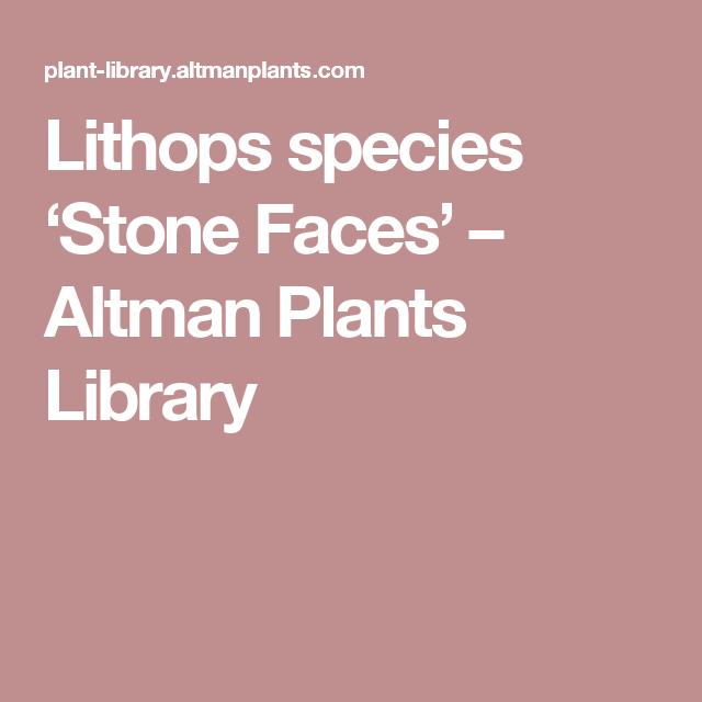 Lithops species 'Stone Faces' – Altman Plants Library