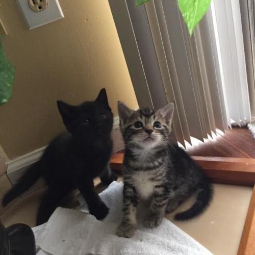 Adopt Gumdrop On Tabby Brown Brown Cat Black Kitten
