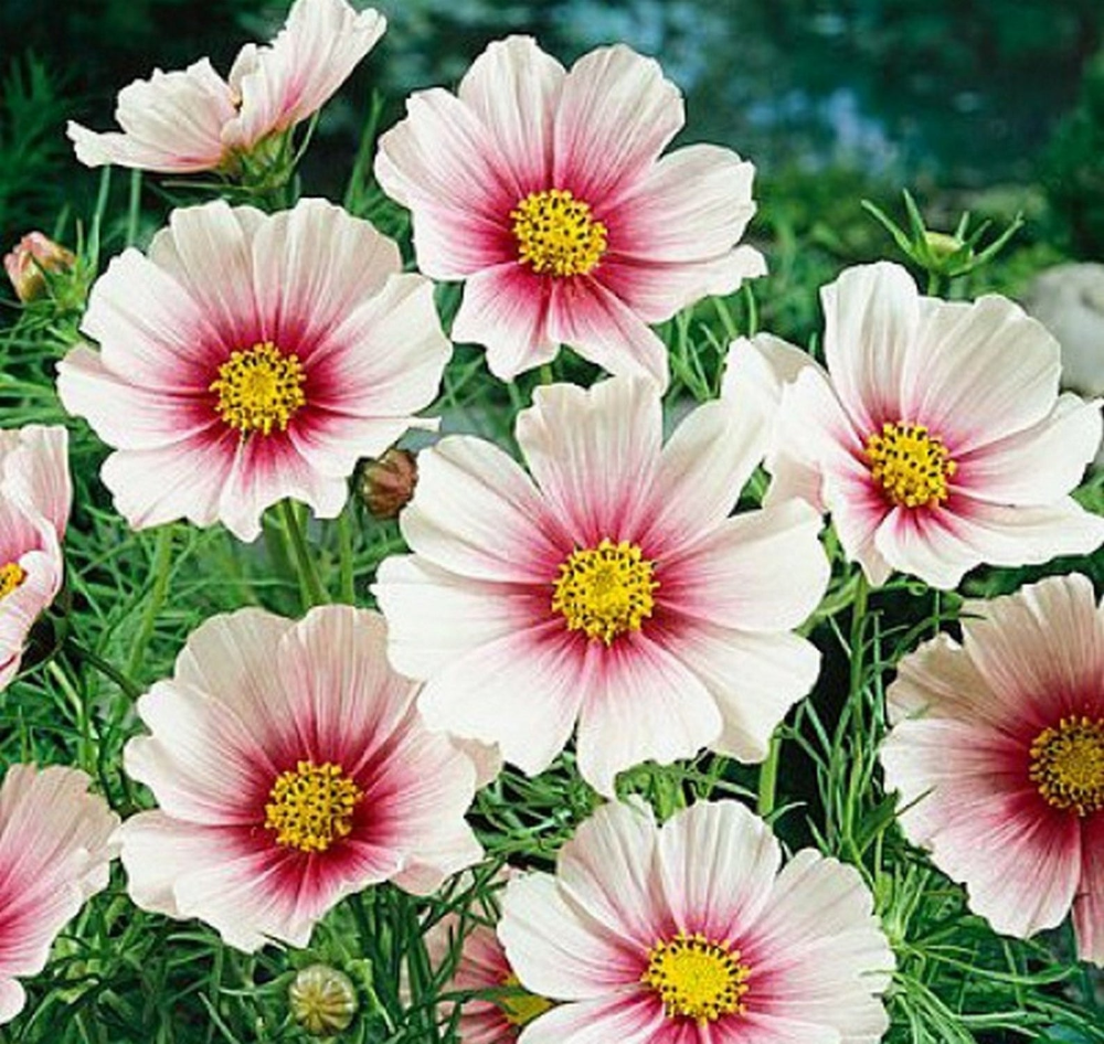 Cosmos Daydream Delicate Pink Flowers 35 Seeds Cosmos Etsy In 2020 Cosmos Flowers Annual Flowers Flower Seeds