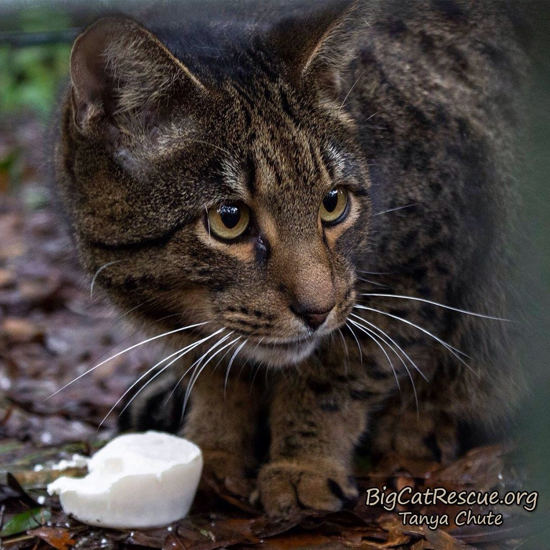 Loki Savannah Is Enjoying His Fish Sicle On This Hot Florida Day With Images Big Cat Rescue Cat Rescue Big Cats