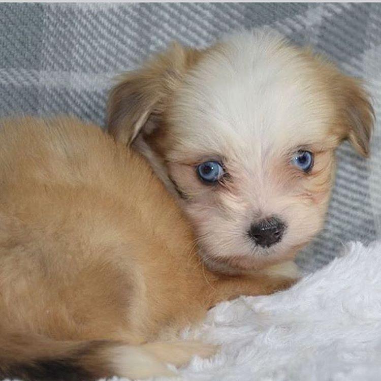 Meet Ace Gorgeous Maltese Toy Aussie Designer Breed Puppy