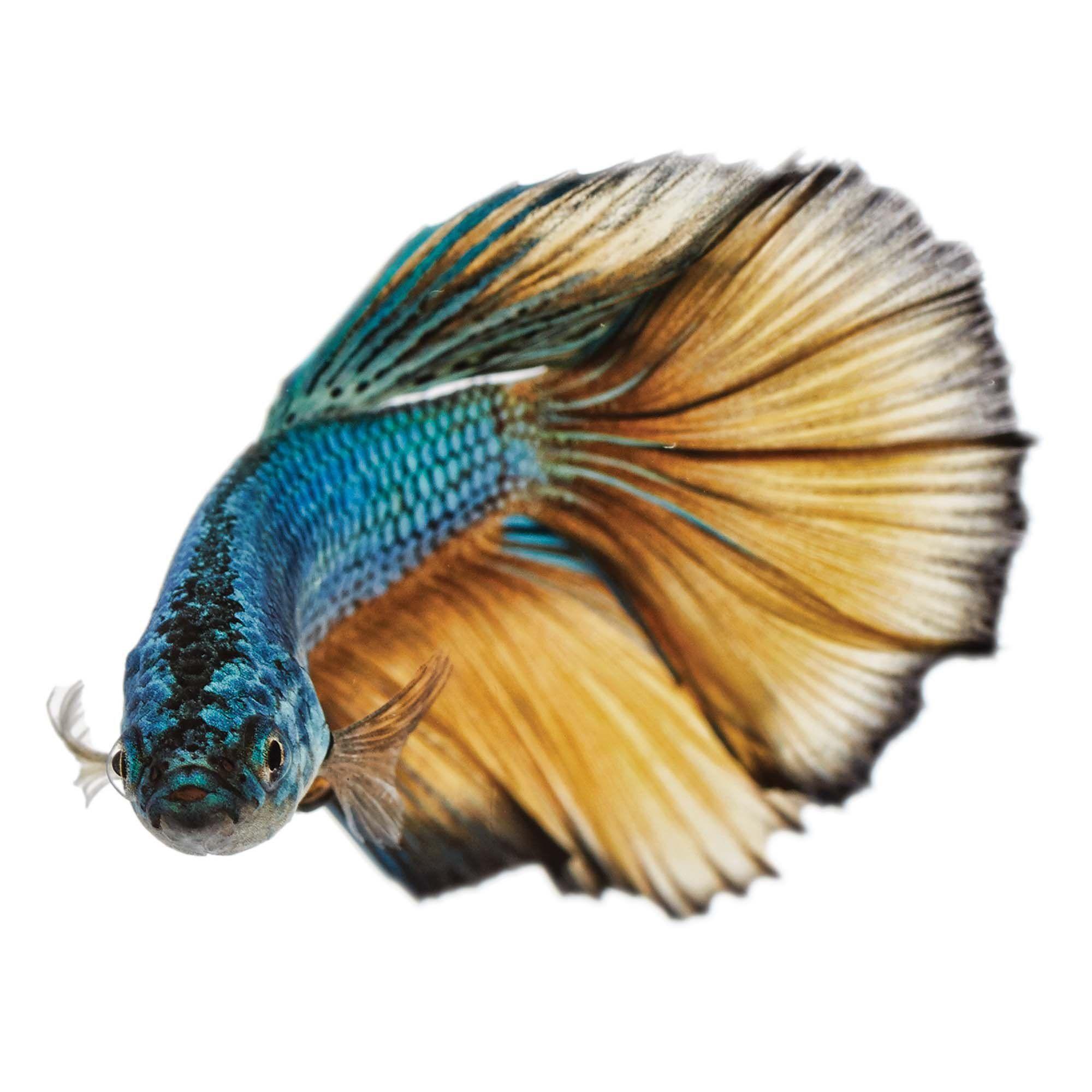 Male Paradise Betta For Sale Order Online Petco Saltwater Aquarium Fish Betta Fish Tank Pet Fish