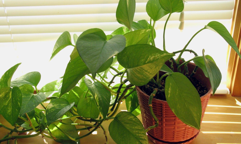 Las mejores plantas para casas oscuras tips caseros - Plantas venenosas de interior ...