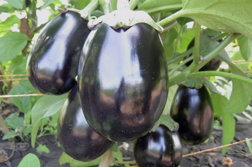 ВЫРАЩИВАЕМ БАКЛАЖАНЫ | Выращивание баклажанов, Садоводство