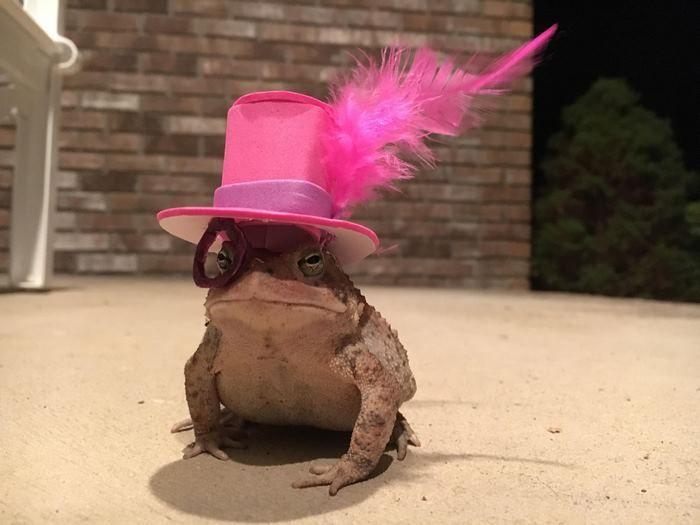 賴蛤蟆經常出現在他的陽台上,他就開始把他打造成青蛙界最時尚「帽子模特兒」! (7張)% 照片
