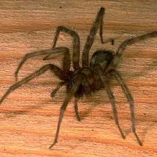 Many House Spiders Are Harmless Spider House Spider Get Rid Of Spiders