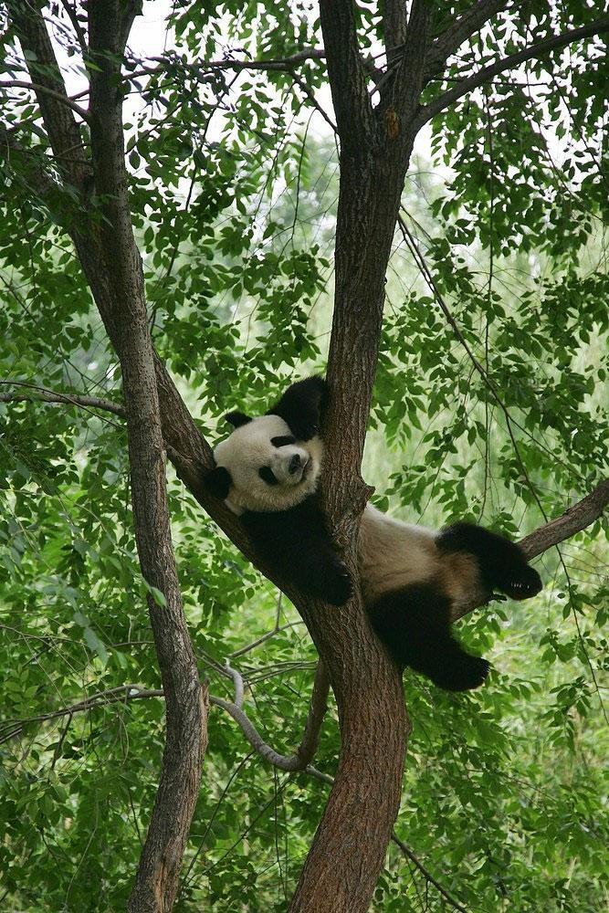 Oso Panda gigante en el Zoologico de Beijing, fotografía de Lintao Zhang.