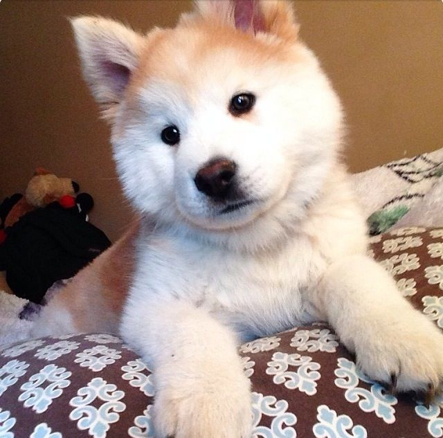 Chowsky (Chow/ Husky) pup! | Adorable Things | Pinterest ...  Chowsky (Chow/ ...