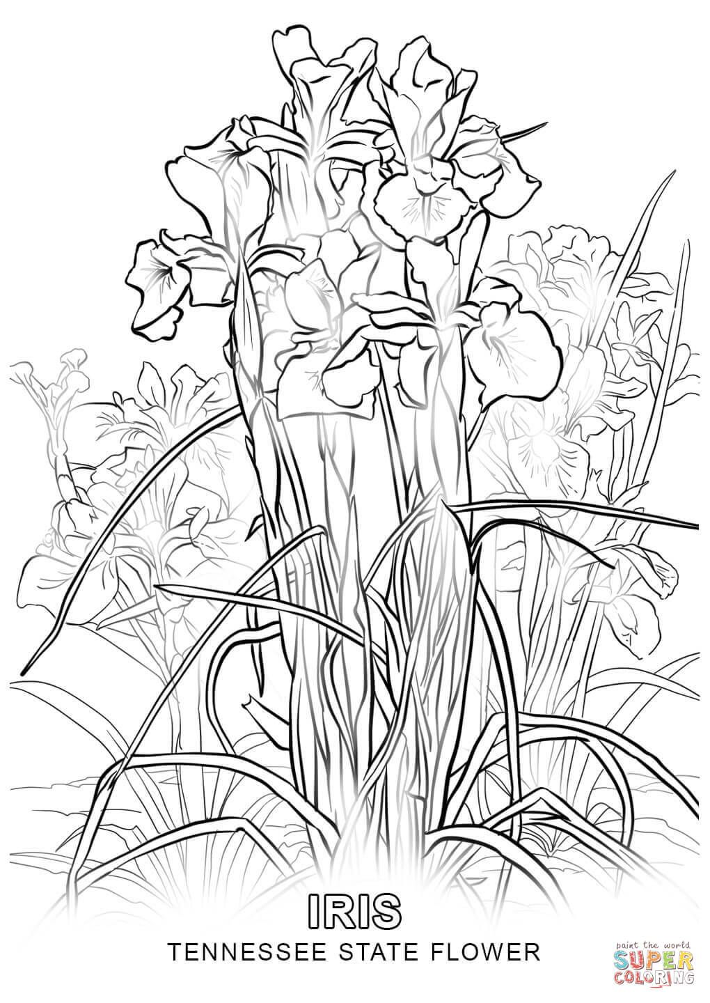 Tennessee State Flower Coloring Page Jpg 1020 1440 Flower