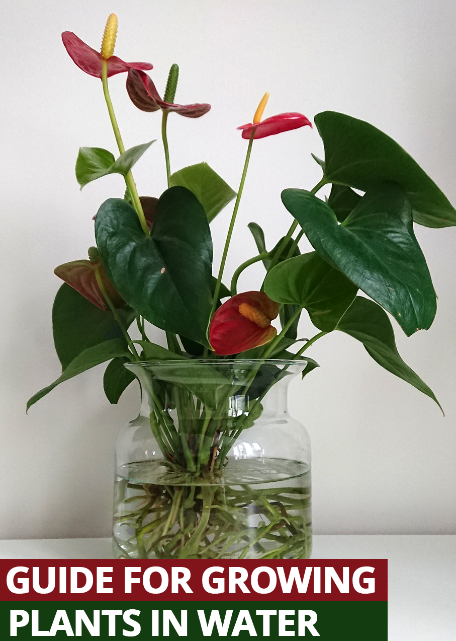 How To Grow Houseplants In Water In 2020 Anthurium Plant Water Plants Water Plants Indoor