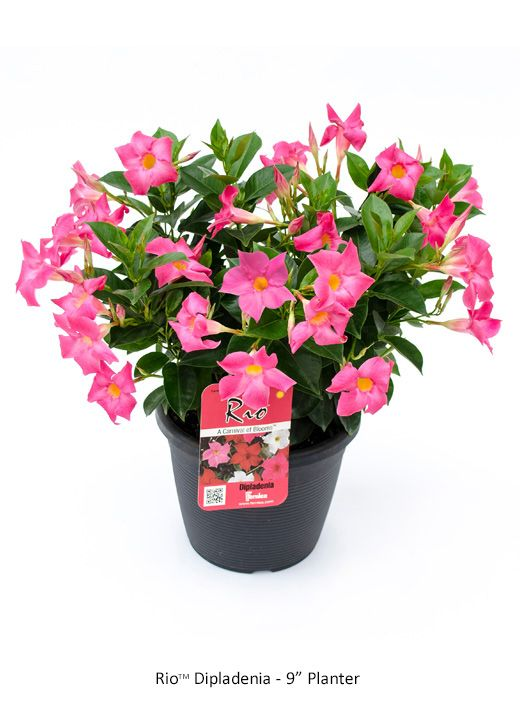 Rio Dipladenia Tropicals Image Gallery Flowers Perennials Front Flower Beds Container Flowers