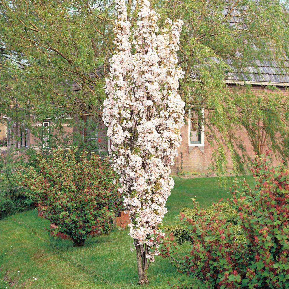 Prunus Amanogawa Google Search Flowering Cherry Tree Ornamental Cherry Japanese Flowering Cherry