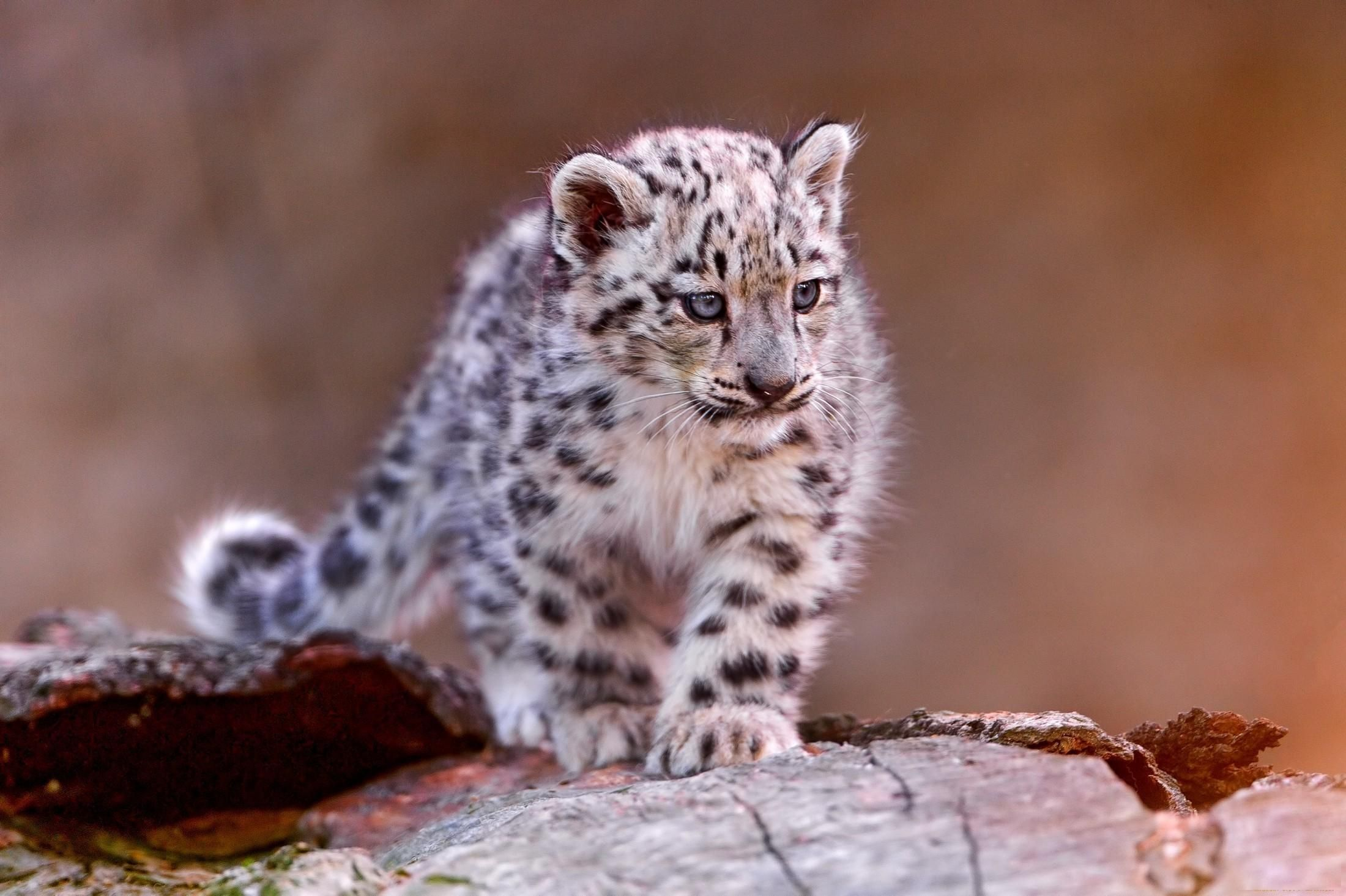 Small Snow Leopard Wallpaper