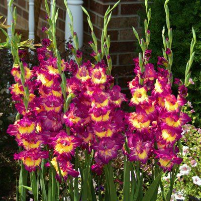 Gladiolus Fun Time Bulb Flowers Gladiolus Bulbs Gladiolus