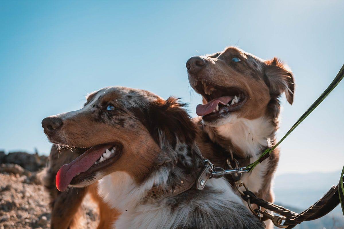 15 Reasons Australian Shepherds are the World's Best Dogs