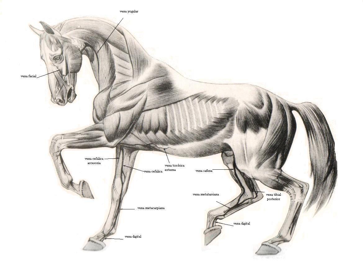 Anatomía | caballos | Pinterest | Anatomía, Ecuestre y Caballos