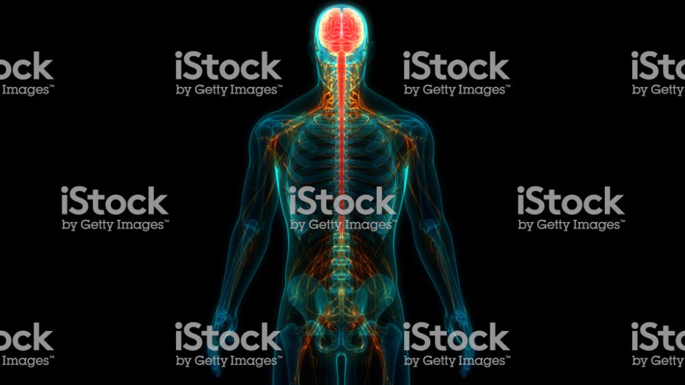 3d Illustration Of Central Organ Of Human Nervous System Brain Anatomy Brain Anatomy Human Nervous System Nervous System