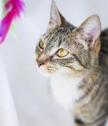 Gidget Is An Adoptable Bobtail Cat In Roanoke Va Could This Be Your Next Best Friend Gidget Is A Cute Little Girl Kitty Bobtail Cat Cute Little Girls Tabby