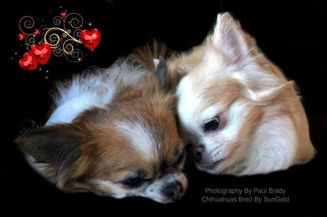 Sungold Chihuahuas Indiana Chihuahua Puppies Chihuahua Puppies
