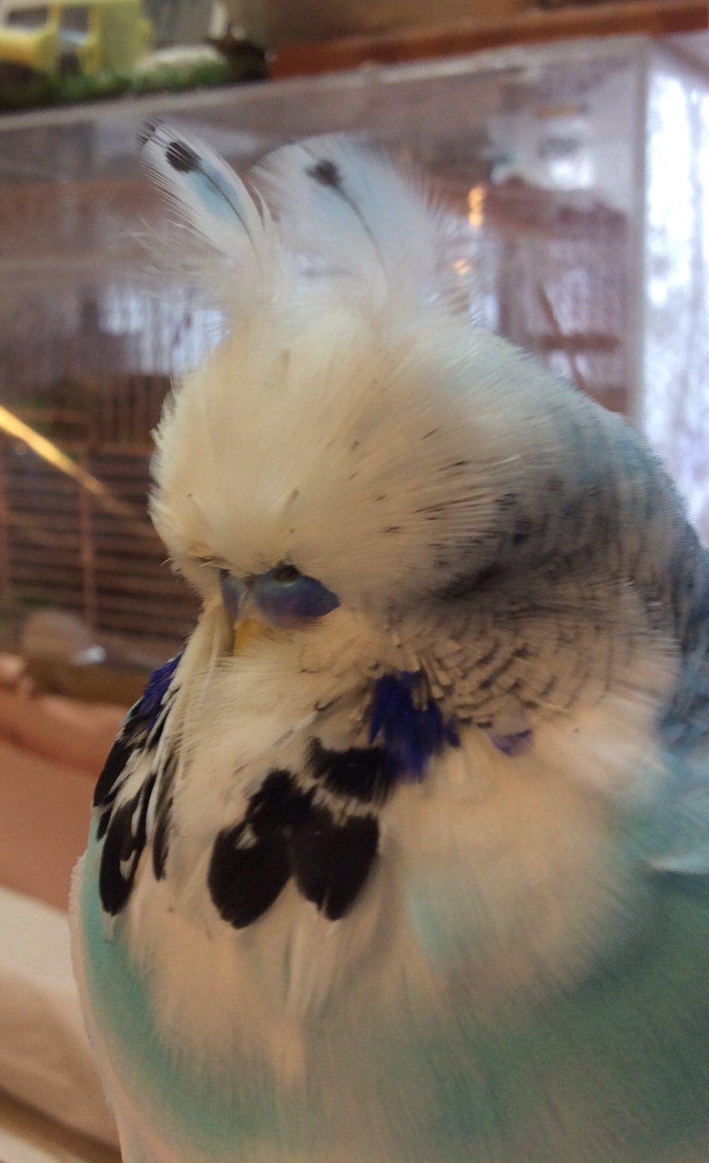 あみありうむ ことり屋 On Twitter Budgies Bird Parakeet English Budgie