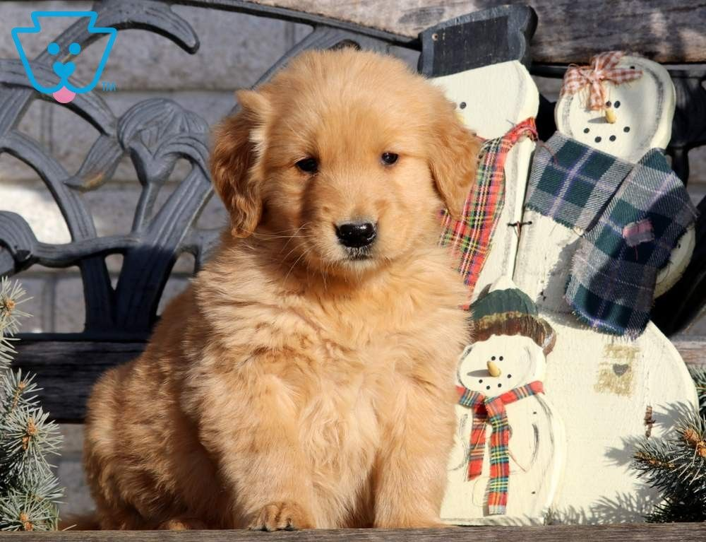Ace Retriever Puppy Dogs Golden Retriever Puppies For Sale