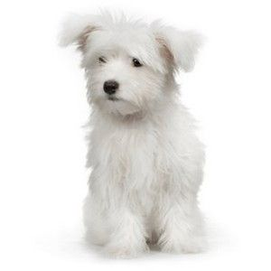 Maltese Dog Breed Polyvore Snow Dogs Maltese Dogs Maltese
