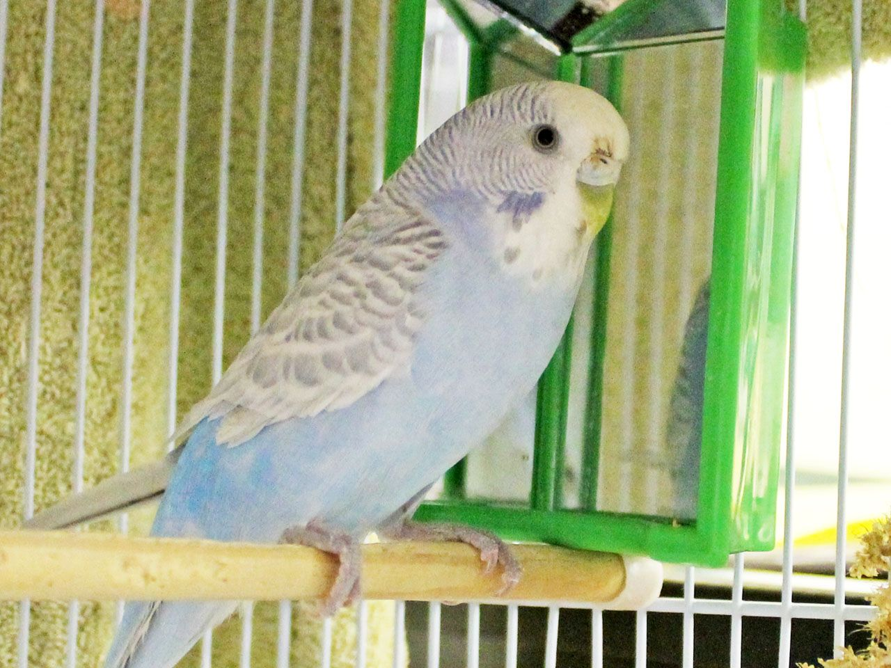 Wallace (ID: A396679) is a beautiful light blue and white parakeet. This parakeet was rescued off the street. Wallace is a bit on the shy side here at the shelter but is lovely and makes wonderful parakeet sounds. Come adopt Wallace.